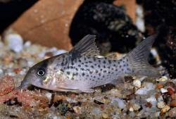 Corydoras(ln9) sp. (C021) - Click for species data page