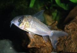 Corydoras(ln9) sp. (C033) - Click for species data page