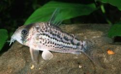 Corydoras(ln9) sp. (C083) - Click for species data page