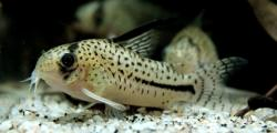 Corydoras(ln9) sp. (C091) - Click for species data page