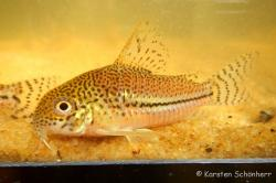 Corydoras(ln9) sp. (Cw050) - Click for species data page