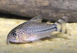 Corydoras(ln9) sp. (Cw062) - Click for species data page