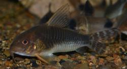 Corydoras(ln9) sp. (Cw069) - Click for species data page