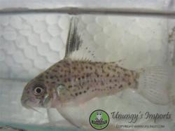 Corydoras(ln9) sp. (Cw079) - Click for species data page