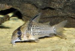 Corydoras(ln9) sp. (Cw081) - Click for species data page