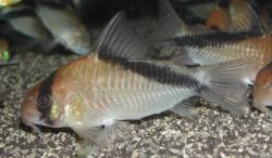 Corydoras(ln9) sp. (Cw088) - Click for species data page
