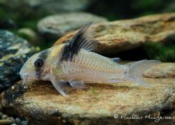 Corydoras(ln9) sp. (Cw098) - Click for species data page