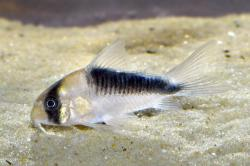 Corydoras(ln9) sp. (Cw107) - Click for species data page