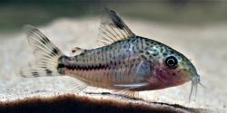 Corydoras(ln9) sp. (Cw109) - Click for species page