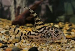 Corydoras(ln9) sp. (Cw111) - Click for species data page