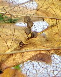 Corydoras(ln9) sp. (Cw111)