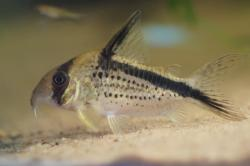 Corydoras(ln9) sp. (Cw125) - Click for species data page