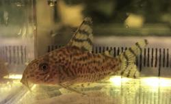 Corydoras(ln9) sp. (Cw146) - Click for species data page