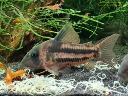 Corydoras(ln9) sp. (Cw168) - Click for species data page