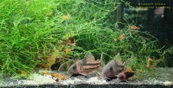 Corydoras(ln9) sp. (Cw168)