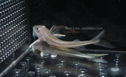 Leptodoras cf. cataniai`rio_nanay`