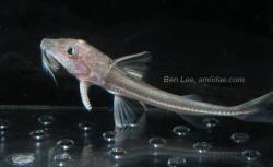 Leptodoras cf. cataniai`rio nanay`