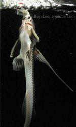 Leptodoras juruensis