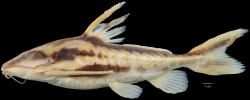Megalodoras guayoensis - Click for species page