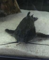 Platydoras sp. `MARONI` - Click for species page