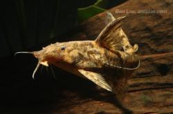 Rhinodoras boehlkei