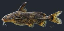 Rhinodoras sp. `TOCANTINS XINGU`