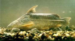 Rhinodoras thomersoni - Click for species data page