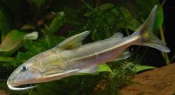 Tenellus cristinae - Click for species data page