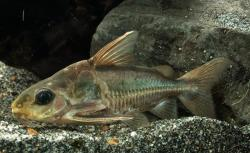 Trachydoras paraguayensis - Click for species data page