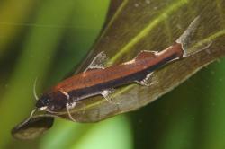 Cetopsorhamdia phantasia - Click for species data page