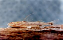 Mastiglanis durantoni - Click for species data page