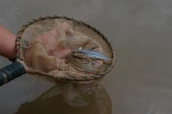 Pimelodella hartwelli - Click for species data page