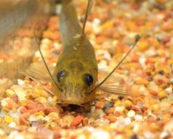 Pimelodella sp. (3)