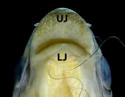 Pachypterus khavalchor