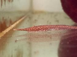 Acestridium colombiense