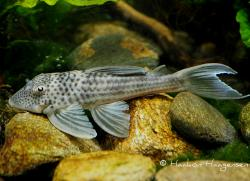 Ancistomus snethlageae - Click for species page