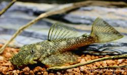 Ancistrus aguaboensis - Click for species page