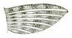 Ancistrus caucanus