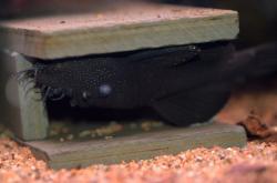 Ancistrus dolichopterus