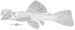 Ancistrus lineolatus - Click for species data page