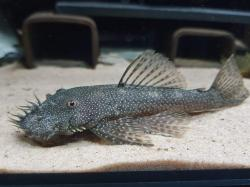 Ancistrus sp. `RIO TOCANTINS II` - Click for species page