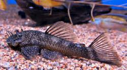 Ancistrus sp. (L180) - Click for species page