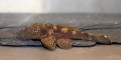 Ancistrus sp. (L338)