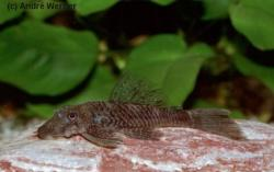 Ancistrus sp. (L344) - Click for species data page