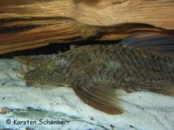 Ancistrus sp. (L503) - Click for species data page