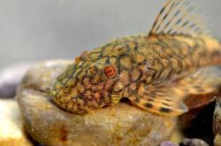 Ancistrus sp. (L505) - Click for species data page