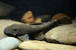 Ancistrus sp. (L509) - Click for species data page