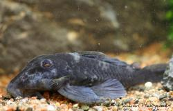 Baryancistrus beggini - Click for species data page