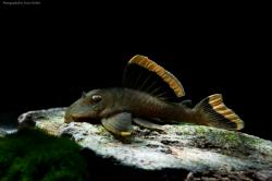 Baryancistrus chrysolomus - Click for species page