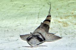 Brochiloricaria chauliodon